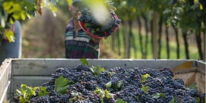 Vinobraní v srpnu? Vinaři odpočítávají dny