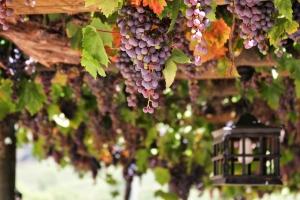 Na jižní Moravě musejí dokyselovat víno. Kvůli letním vedrům je sladší
