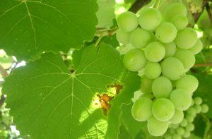 Marcinčák: Když děláte na vinici řez, rozhodujete o tom, jaká bude úroda za dva roky