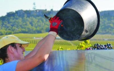 Vinaři z loňské sklizně vyrobí 705.000 hl vína