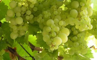 Kunětické vinobraní nabídne vína z Čech, Moravy i zahraničí