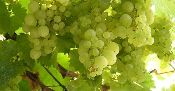 Vinařství Mutěnice a Neoklas dodají na trh půl milionu lahví
