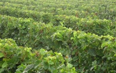 Před půlstoletím vzniklo nové vinařské Mostecko, navázalo na středověkou tradici