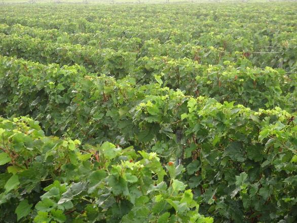 Dnešní nocí startuje vinařská sezona