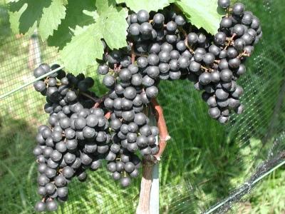 Vinaři v Lednici se vracejí k pravěké metodě výroby vína