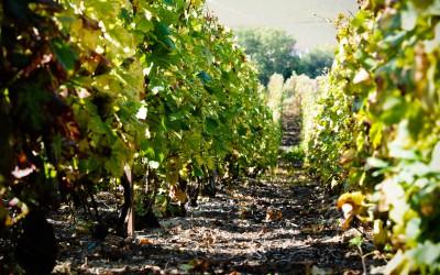 Abeceda odrůd: Pinot meunier – Mlynářka
