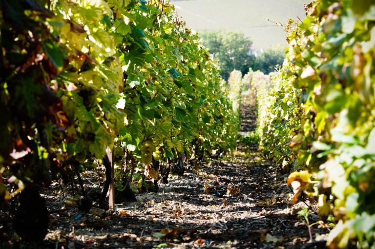 Roudnice se stala vinařskou obcí, povýšila zásluhou viniční trati