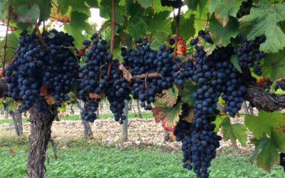 Cahors aneb černé víno