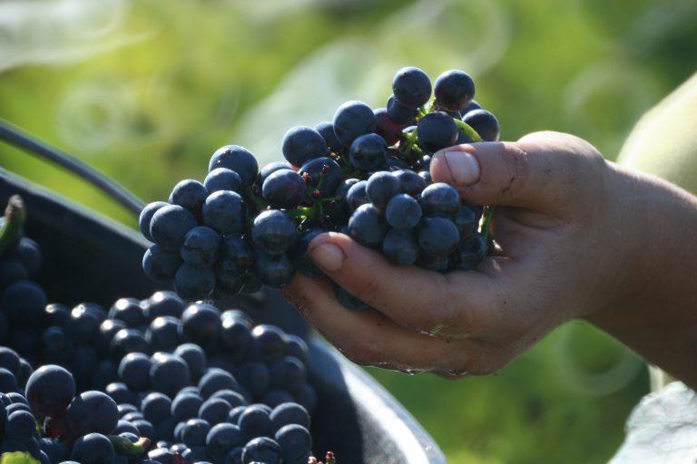 Vítězové Vinařství roku: O révu pečujeme i pomerančovým olejem