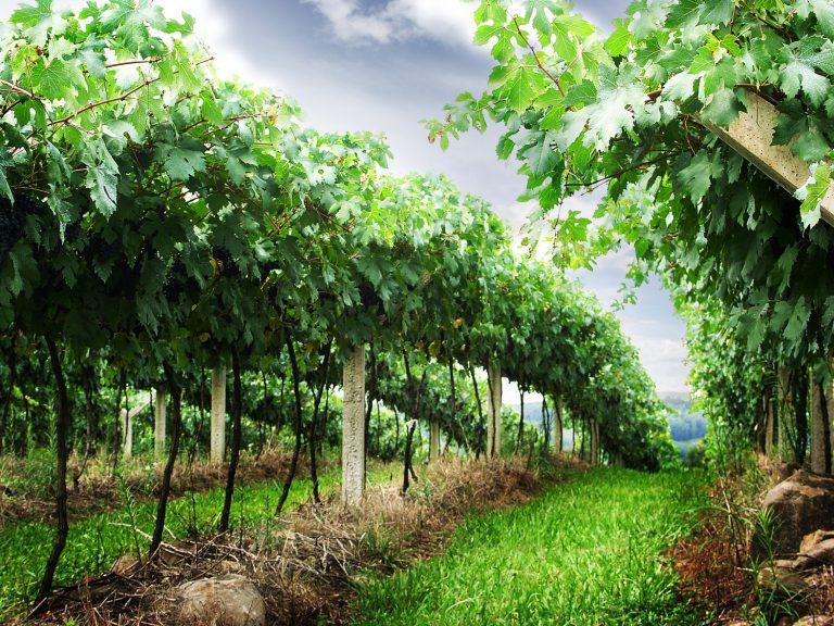 Z Poysdorfu do Falkensteinu – Vinicemi mezi dvěma vinařskými obcemi