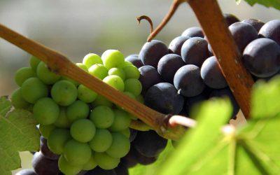 Kontrola Potravinářské inspekce potvrdila vysokou jakost vín VOC