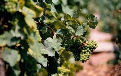 Na francouzských vinicích je nejteplejší počasí od 14. století