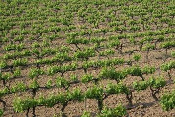 Svatá Zdislava má vinici pod Ralskem. Dala půl tuny hroznů