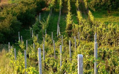 Římané k nám víno vozili, pěstovat jej začali až Slované, naznačují nálezy