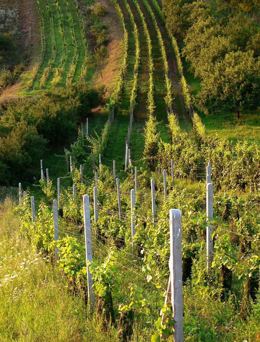 Litovel chce vysázet vinice. Vinohradů na Hané přibývá, i dobrých vín