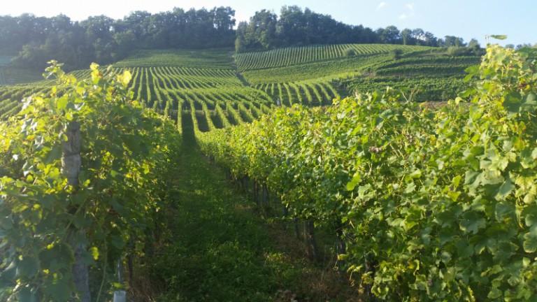 V Česku je třetí nejlevnější víno na světě. Dražší lahve se u nás neprodávají, říká šéf svazu vinařů